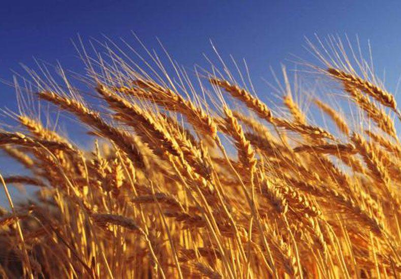 Panorama alentador. Industriales son optimistas con el trigo. Foto Internet ilustrativa