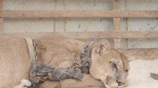 Liberaron a un puma que estuvo 20 años encadenado en un circo