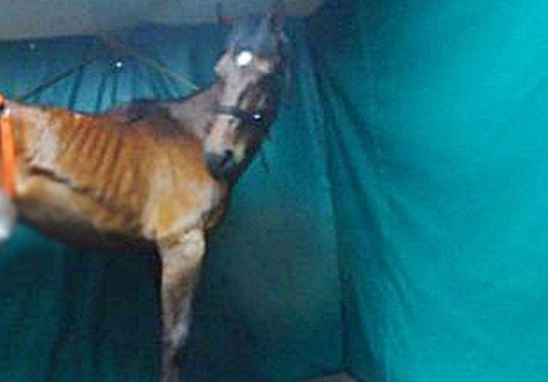 Protectores piden ayuda para pagar la operación de un caballo amputado