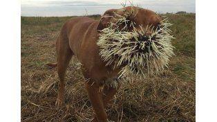 Así quedó un perro por meterse con un puercoespín