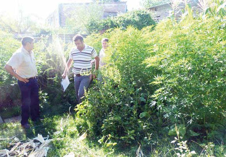 Para consumir. El Tribunal entendió que las plantas no tenían como destino el narcotráfico.