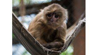 Nicolás, un mono recuperado del alcohol