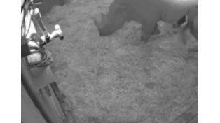 Graban el nacimiento de un rinoceronte negro en un zoológico de Gran Bretaña
