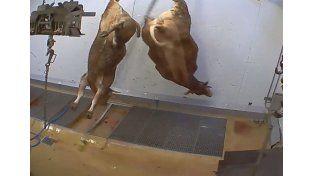 Brutal maltrato de animales en un matadero