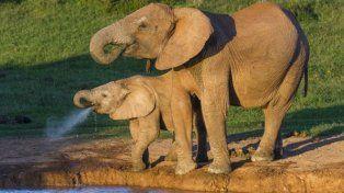 Los elefantes tienen más células que los humanos y no sufren cáncer