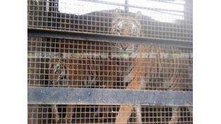 Rescataron a nueve tigres que eran maltratados en un circo mexicano en Chaco