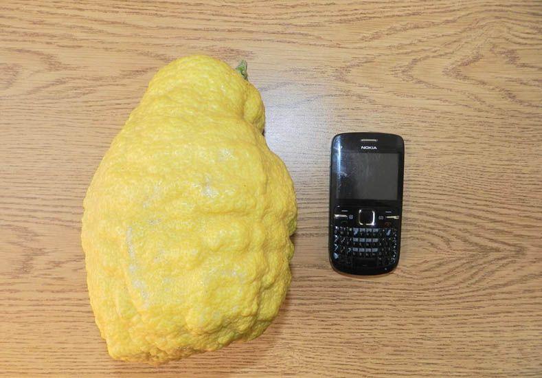 Cosecharon un limón gigante en Viale