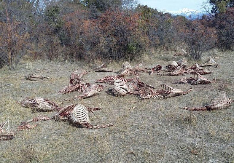 Masiva matanza y faena de ciervos en el Parque Nacional Nahuel Huapi