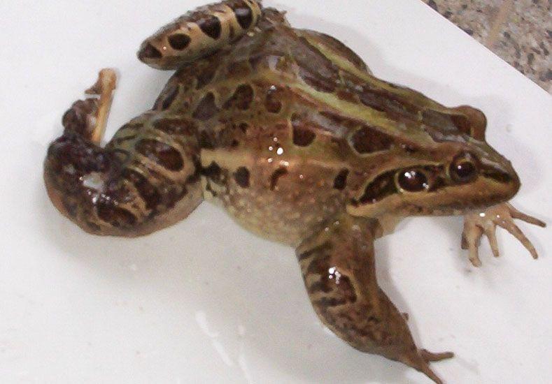 Investigación. La rana criolla con claras muestras de desequilibrios.