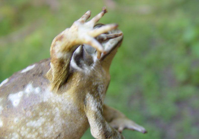 Malformaciones. Animales con cinco patas