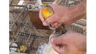 Liberaron aves que habían sido capturadas para ser vendidas