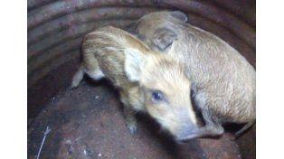 Rescataron crías de jabalí que eran cazados con jauría de perros