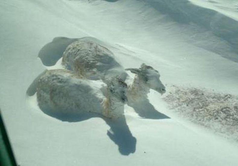 Encuentran dos guanacos congelados en San Juan