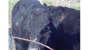 Recuperaron tres toros robados