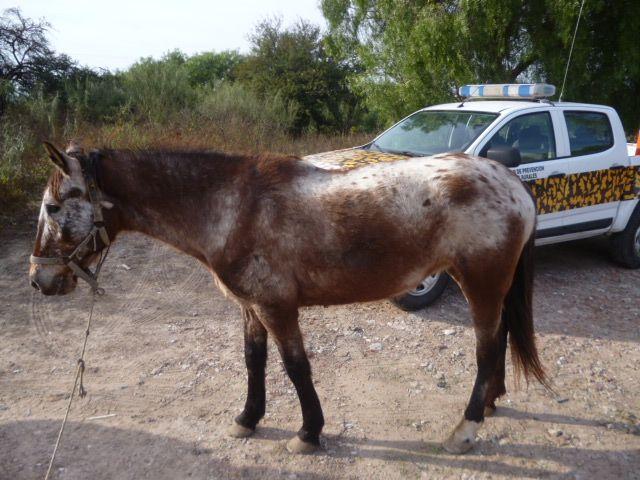 Recuperaron un caballo que fue robado hace cuatro años