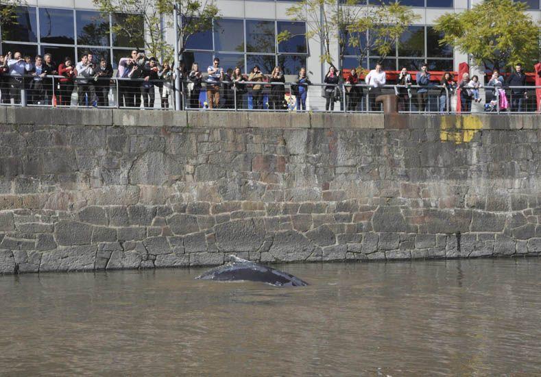 Una ballena apareció en un dique de Puerto Madero