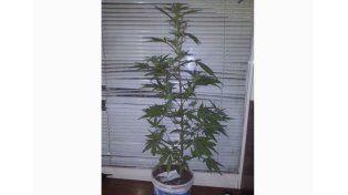 Un joven fue detenido por pasear con una planta de cannabis sativa