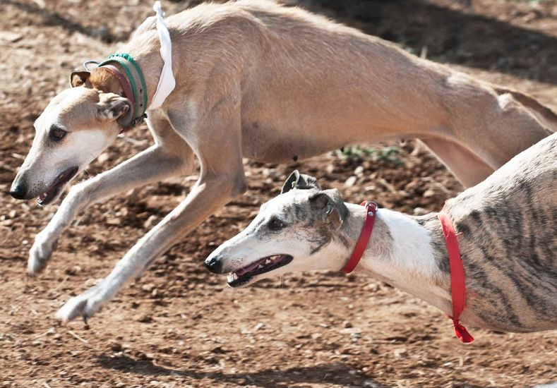 La prohibición de las carreras de perros tiene media sanción