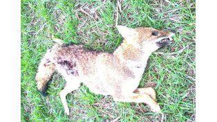 Encontraron un zorrito mutilado en Victoria