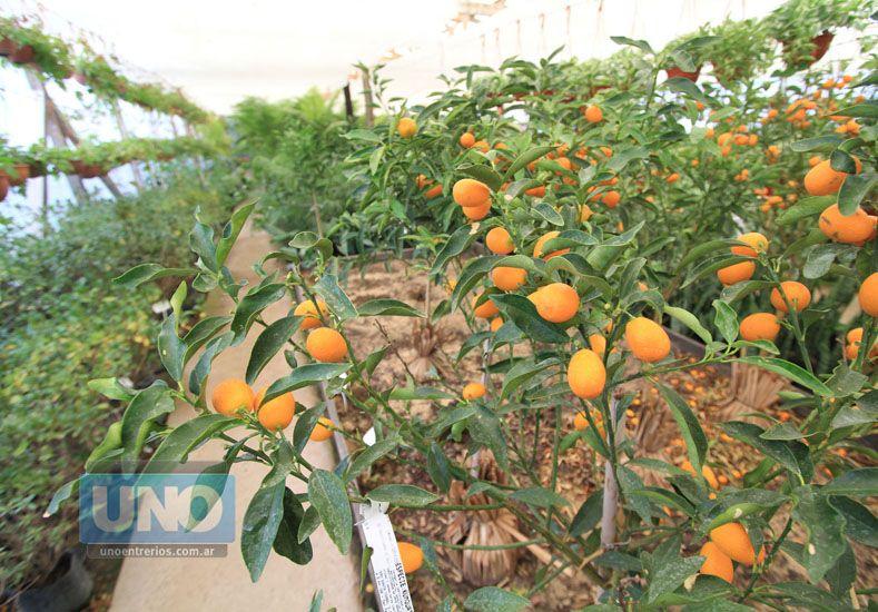 Producción. En Paraná las familias plantan árboles de quinotos