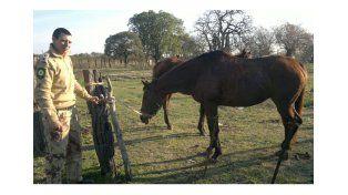 Abigeato recuperó dos caballos pura sangre valuados en más de 90.000 pesos
