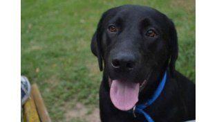 El perro labrador Tiki. Foto: WTAE