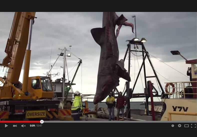 Capturan por accidente al segundo pez más grande del mundo en la costa de Australia