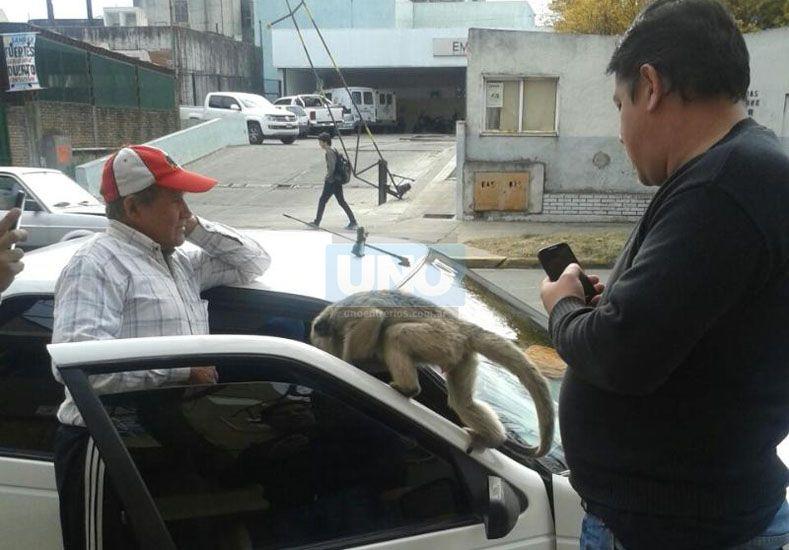 Un mono suelto fue la atracción frente al hospital San Martín