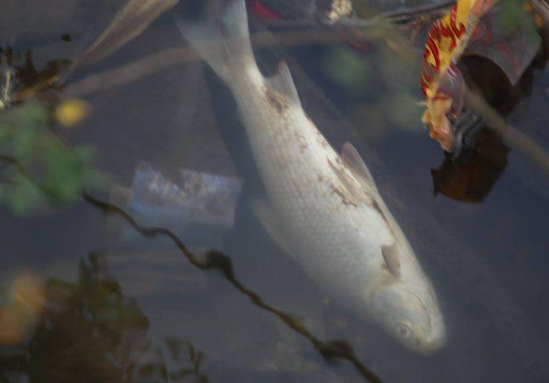 Aparecieron cientos de peces muertos en Colón