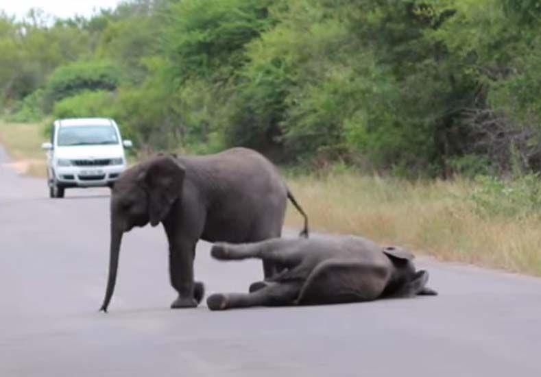 Manada de elefantes rescatan a una cría caída