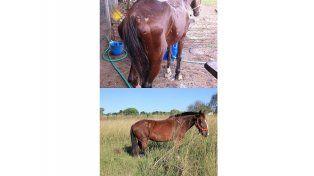 Difunden cómo evolucionaron los caballos sustituidos por motocarros