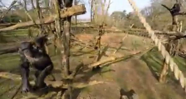 Chimpancé derribó a un drone que espiaba las costumbres de su especie