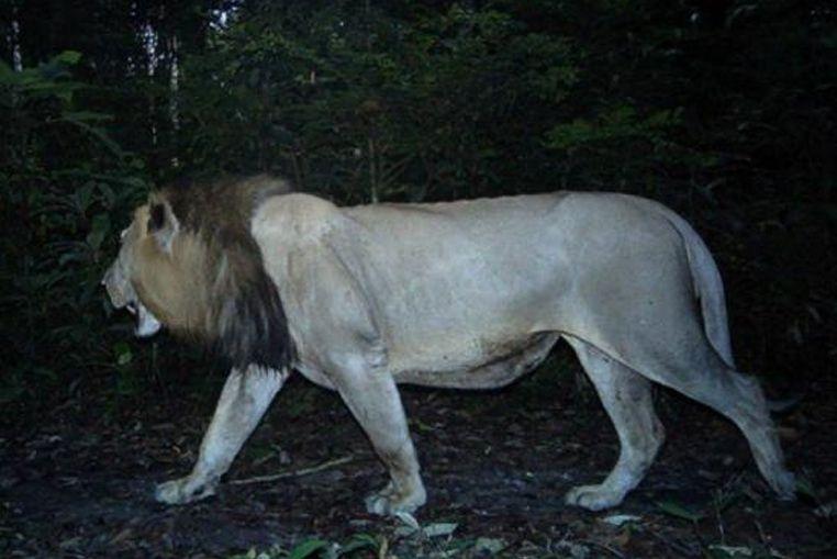 Un león viajó más de 200 kilómetros por amor
