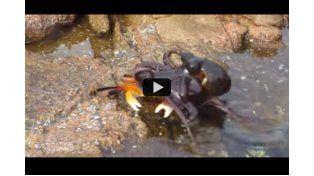 Es viral: un pulpo ataca a un cangrejo
