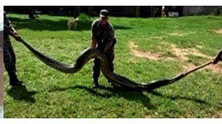 Capturan una anaconda de 7 metros que se comía gallinas y chanchos