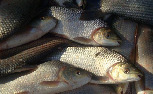 Investigan las causas de mortandad de sábalos en el río Uruguay