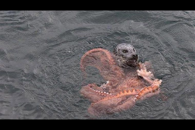 Feroz pelea entre un pulpo gigante y una foca que quería comerlo