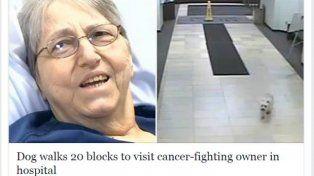 Amor puro: recorrió 20 cuadras para visitar a su dueña en el hospital