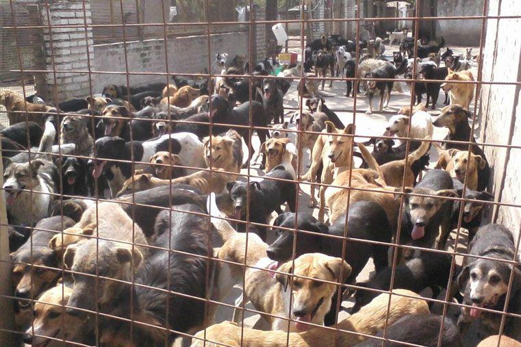 Hacinados. Mas de 1.000 perros viven en la Protectora de Animales de Santa Fe. Las tristes estadísticas indican que menos de la mitad será adoptado.
