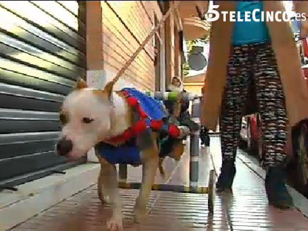 Conmueve a España Yak, el perro que dejaron paralítico porque no sabía pelear