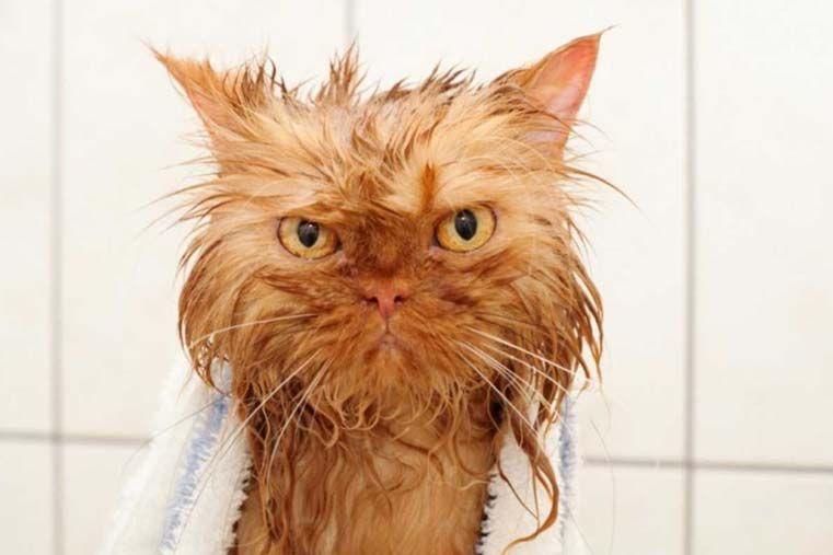 Las mejores fotos de gatos mojados
