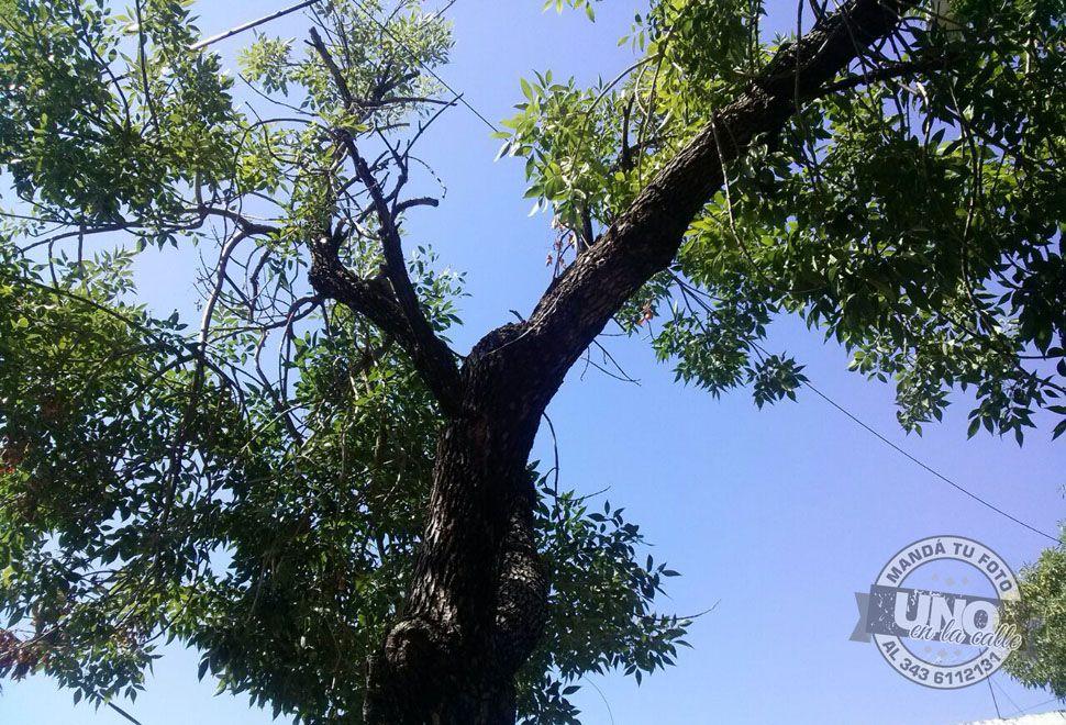 Árbol sostenido por cables en calle Bavio de Paraná