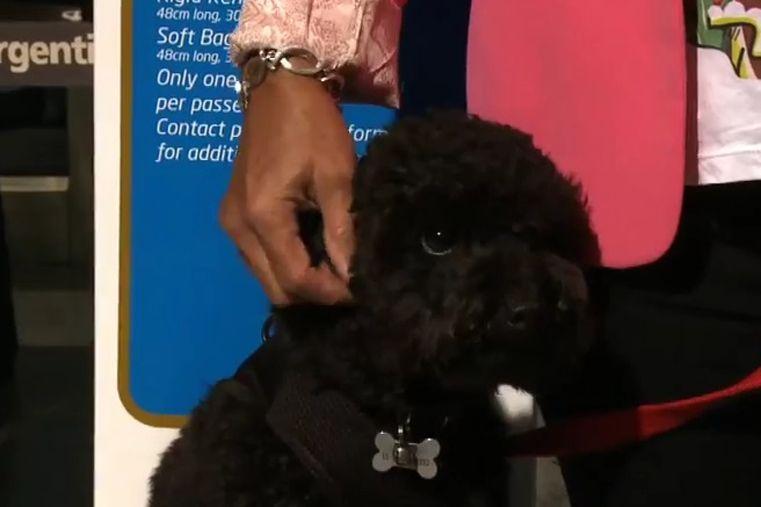 Por primera vez una pasajera subió con su mascota a la cabina de un vuelo de Aerolíneas Argentinas