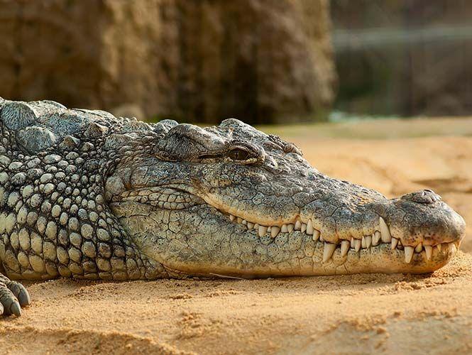 El cocodrilo