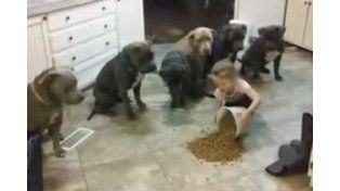Una niña le ordena con autoridad y eficiencia a seis perros pitbull a la hora de comer