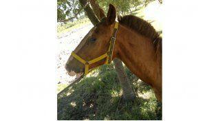 Robaron un caballo y lo tiñeron para camuflarlo