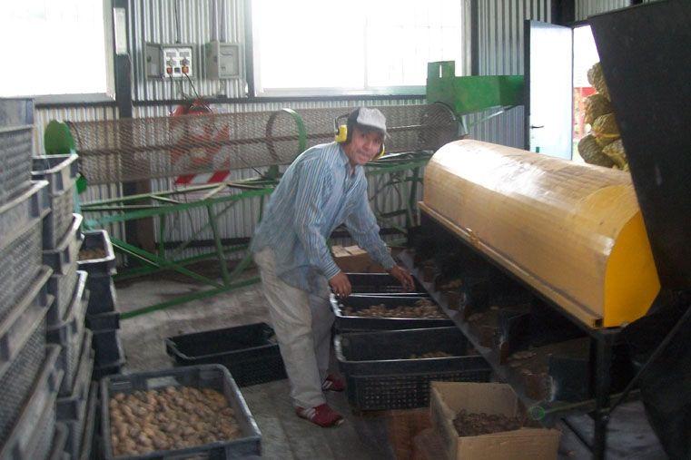 Pecaneros. Los productores lograron vender nueces a China.