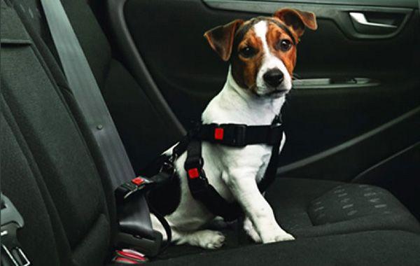 Recomiendan que las mascotas siempre viajen en el interior del vehículo y debidamente sujetas