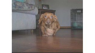 Cómo bajó de peso un perro salchicha de 25 kilos