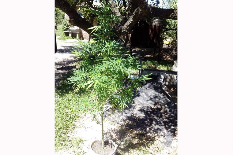 La policía buscaba herramientas robadas y encontró 230 plantas de marihuana